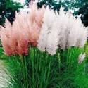 Пампасна трава