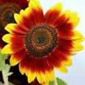 Соняшника декоративний